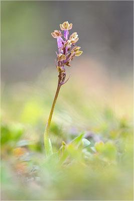 Spitzels Knabenkraut (Orchis spitzelii), Schweden, Gotland