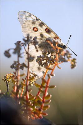 Roter Apollo (Parnassius apollo nivatus), Frankreich, Jura
