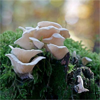 Pleurocybella porrigens (Ohrförmiger Seitling), Deutschland, Nordschwarzwald
