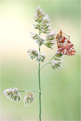 Hochmoor-Perlmuttfalter (Boloria aquilonaris), Deutschland, Rheinland-Pfalz