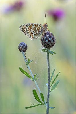 Stiefmütterchen-Perlmutterfalter (Argynnis niobe), Italien, Region Aostatal, 1400m