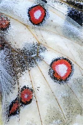 caloriferus