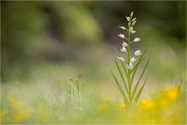 Schwertblättriges Waldvöglein (Cephalanthera longifolia), Frankreich, Drôme