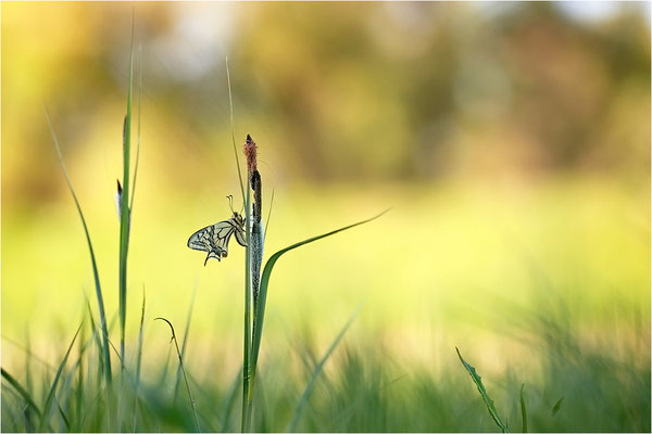 Schwalbenschwanz (Papilio machaon), Deutschland, Baden-Württemberg