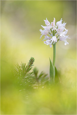 Helm-Knabenkraut (Orchis militaris), Albino, Schweden, Farö