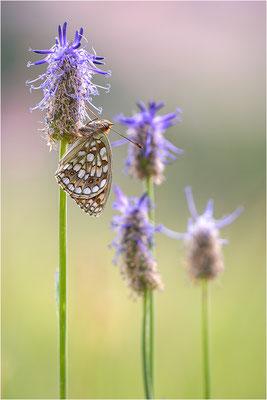 Stiefmütterchen-Perlmutterfalter (Argynnis niobe), Italien, Region Aostatal, 2000m