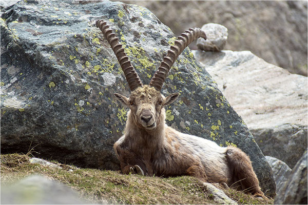 Alpensteinbock (Capra ibex), Italien, Region Aostatal, 2400m