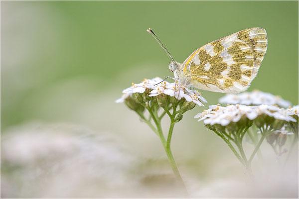 Resedaweißling (Pontia daplidice), Piemont, Italien