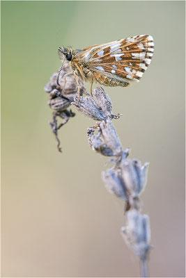 Silberwurz-Würfeldickkopffalter (Pyrgus andromedae), Weibchen, Frankreich, Drôme
