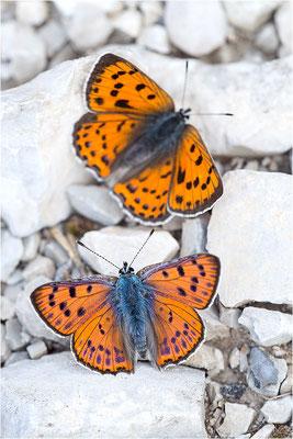 Violetter Feuerfalter (Lycaena alciphron gordius), Paar, Frankreich, Haute Alps, 1300m