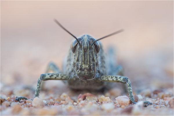 Ägyptische Wanderheuschrecke (Anacridium aegyptium), Männchen, Frankreich, Var