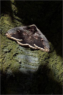 Wiener Nachtpfauenauge (Saturnia pyri), Männchen, Frankreich, Ardèche