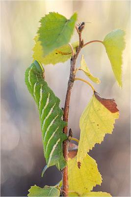 Abendpfauenauge (Smerinthus ocellata)