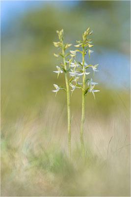 Weiße Waldhyazinthe (Platanthera bifolia), Gotland, Schweden