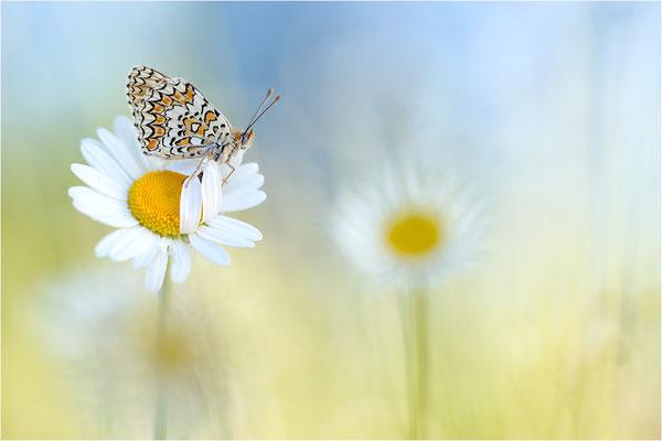 Flockenblumen-Scheckenfalter (Melitaea phoebe), Frankreich, Ardèche
