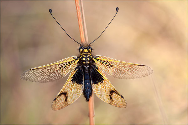 Langfühleriger Schmetterlingshaft (Libelloides longicornis), Weibchen, Frankreich, Ardèche