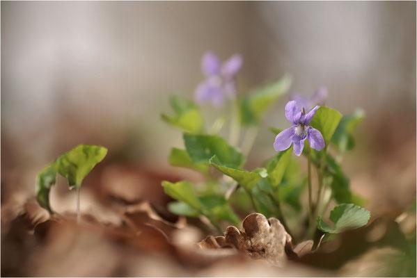 Wald-Veilchen (Viola reichenbachia), Deutschland, Baden-Württemberg