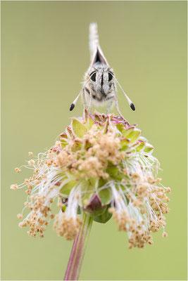 Roter Würfel-Dickkopffalter (Spialia sertorius), Frankreich, Drôme
