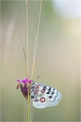 Roter Apollo (Parnassius apollo lithographicus), Deutschland, Oberbayern