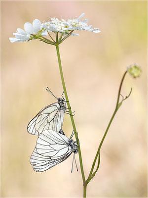 Baumweißling (Aporia crataegi), Paarung, Frankreich, Ardèche