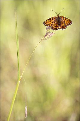 Flockenblumen-Scheckenfalter (Melitaea phoebe), Frankreich, Drôme