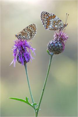 Flockenblumen-Scheckenfalter (Melitaea phoebe) und Roter Scheckenfalter (Melitaea didyma), Männchen, Frankreich, Savoie