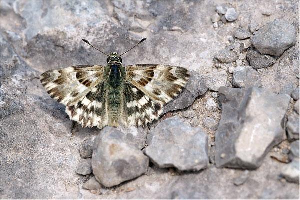 Loreley-Dickkopffalter (Carcharodus lavatherae), Frankreich, Ardèche