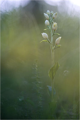 Weißes Waldvöglein (Cephalanthera damasonium), Frankreich, Drôme