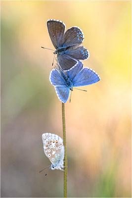 Himmelblauer Bläuling (Polyommatus bellargus), Männchen und Weibchen, Deutschland, Baden-Württemberg