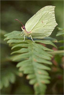 Zitronenfalter (Gonepteryx rhamni), Weibchen, Schweden, Dalsland