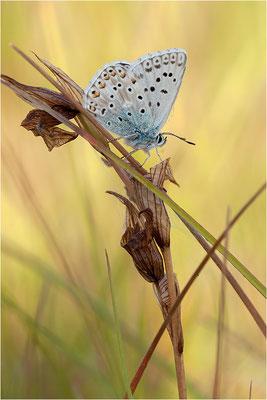 Provence Chalk Hill Blue (Polyommatus hispana), Männchen, Frankreich, Ardèche