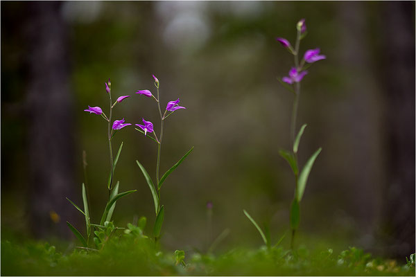 Rotes Waldvöglein (Cephalanthera rubra), Gotland, Schweden