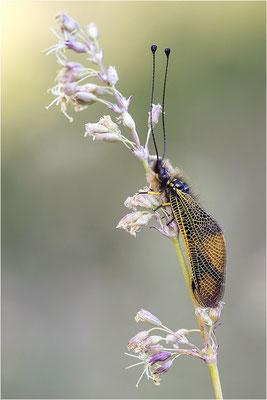 Langfühleriger Schmetterlingshaft (Libelloides longicornis), Männchen, Italien, Region Aostatal
