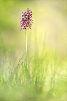 Orchis anthropophora x simia