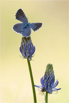 Blaugrauer Bläuling (Pseudophilotes batis), Männchen, Schweiz, Wallis