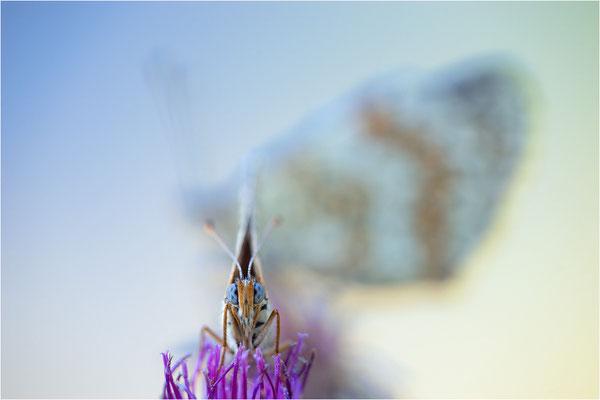 Hintergrund: Melitaea phoebe