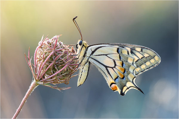 Schwalbenschwanz (Papilio machaon), Frankreich, Dep. Ardéche