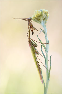 Hauben-Fangschrecke (Empusa pennata), Männchen, Frankreich, Drôme