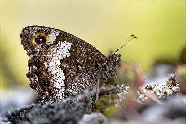 Walliser Waldportier (Hipparchia genava, Frankreich, Dep. Jura