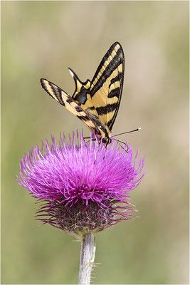 Südlicher Schwalbenschwanz (Papilio alexanor destelensis), Männchen, Frankreich, Var