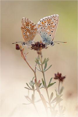 Silbergrüner Bläuling (Polyommatus coridon), Paarung, Frankreich, Drôme