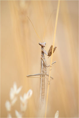 Graue Fangschrecke (Ameles decolor), Männchen, Frankreich, Var