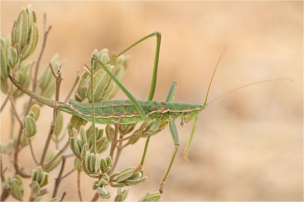 Sägeschrecke (Saga pedo), Weibchen, Frankreich, Bouches-du-Rhône
