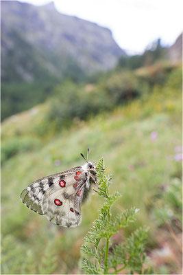 Roter Apollo (Parnassius apollo pedemontanus), Italien, Region Aostatal, 2.100m