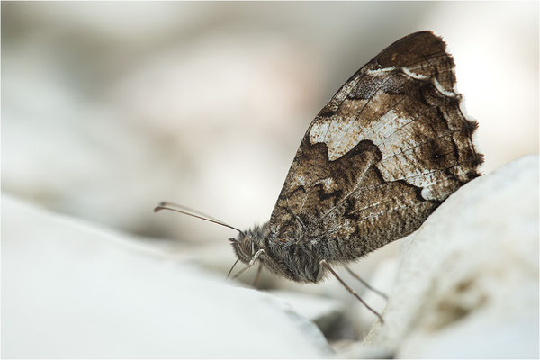 Kleiner Waldportier (Hipparchia alcyone), Frankreich, Dep. Drôme