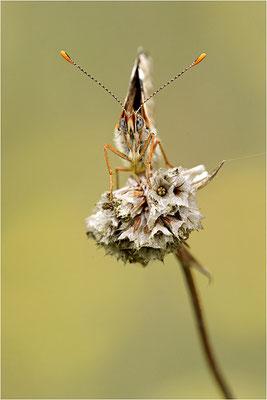 Wegerich-Scheckenfalter (Melitaea cinxia), Deutschland, Brandenburg