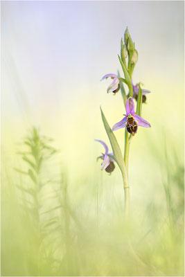 Hybride aus Bienen- und Hummel-Ragwurz (Ophrys x albertiana), Südlicher Oberrhein, Baden-Württemberg
