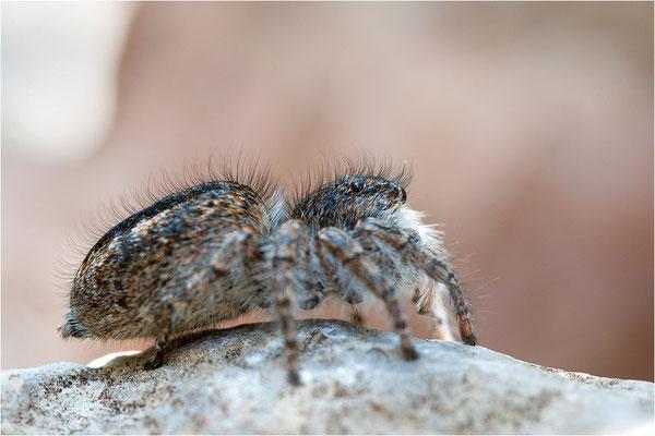 Goldaugen-Springspinne (Philaeus chrysops), Weibchen, Frankreich, Ardèche