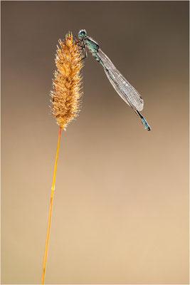 Gemeine Becherjungfer (Enallagma cyathigerum), Värmland, Schweden
