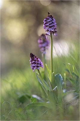 Purpur-Knabenkraut (Orchis purpurea), Frankreich, Var
